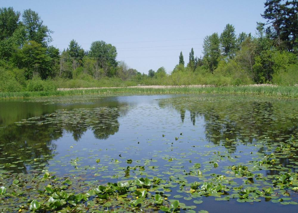 Wetland delineation and critical areas assessment at Wapato Lake